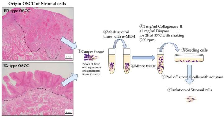 Isolation of various stromal cells. Pieces of fresh oral squamous carcinoma tissue (1 mm 3 ) were washed several times with Alpha-MEM and then minced. These tissues were treated with Alpha-MEM containing 1 mg/mL collagenase II and Dispase for 2 h at 37 °C with shaking (200 rpm). The released cells were centrifuged for 5 min at 1000 rpm, suspended in Alpha-MEM containing 10% FBS, filtered using a Cell strainer, plated in a tissue culture flask, and incubated at 37 °C in 5% CO 2 . One week later, stromal cells were obtained following treatment with Accutase based on the different adhesion of epithelial and stromal cells.