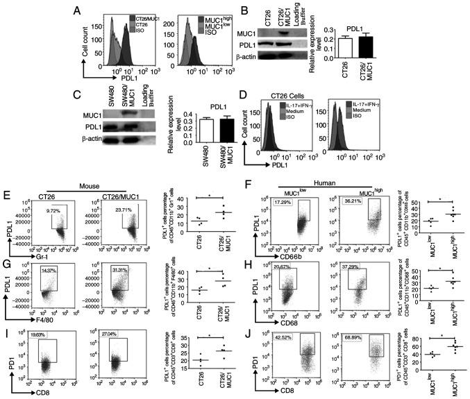 PDL1 expression on MDSCs, TAMs and tumor cells is greater in MUC1 high tumor tissues from mice and patients. (A) Tumor cells from tumor-bearing mice or patients with colon cancer were isolated and PDL1 expression on the surface of tumor cells was assessed using flow cytometry. (B) CT26 and (C) SW480 tumor cells were transfected with pcDNA3.1(−)/Myc-His-MUC1 . Semi-quantitative analysis of western blots of PDL1 expression in tumor cells after the transfection of pcDNA3.1(−)/Myc-His-MUC1 using an anti-PDL1 mAb was performed. β-actin was used as an internal control. (D) CT26/vector and CT26/MUC1 cells were stimulated with mouse IFN-γ (20 ng/ml) and IL-17A (10 ng/ml) for 48 h and surface PDL1 expression was assessed. PDL1 expression on the surface of (E) mouse and (F) human MDSCs and (G) mouse and (H) human TAMs in tumor tissues. PD1 expression on the surface of (I) mouse and (J) human CD8 + T cells in tumor tissues from tumor-bearing mice (n=8) or patients with colon cancer (n=12). Data are representative of four experiments. Error bars represent the standard error of the mean. *P