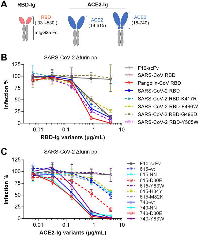 Recombinant RBD-Ig and ACE2-Ig variants efficiently block SARS-CoV-2 entry. (A) Diagrams of RBD-Ig and ACE2-Ig fusion proteins used in the following studies. (B and C) ACE2-expressing 293T cells were infected with SARS-CoV-2 spike-pseudotyped retrovirus (pp) in the presence of purified recombinant RBD-Ig (B) and ACE2-Ig (C) fusion proteins at the indicated concentrations. An Fc fusion protein of an anti-influenza HA antibody, F10-scFv, was used as a control protein here. Viral entry was measured by the luciferase reporter at 48 h postinfection. Luminescence values observed at each concentration were divided by the values observed at concentration zero to calculate the percent infection (Infection%) values. Note that all the 740-version variants showed significantly better potency than the 615-version variants (two-tailed two-sample t test, P