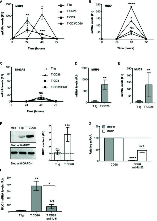 CD28-mediated IL-22 production by CD4 + T cells induces the up-regulation of MUC1 and MMP9 in CACO-2 epithelial cells. (A–C) CACO-2 cells were cultured in triplicates in 24 trans-well plates with medium alone or CD4 + T cells stimulated for the indicated times with isotype control Ig or crosslinked anti-CD28.2 or anti-CD3 (UCHT1) or anti-CD3 plus anti-CD28.2 Abs. MMP9 (A) , MUC1 (B) and S100A9 (C) mRNA levels in CACO-2 cells were measured by real-time PCR and values, normalized to GAPDH, expressed as fold inductions (F.I.) over the basal level of CACO-2 cultured with medium alone. Data show the mean ± SEM of one out of three HD. Statistical significance was calculated by Student t test. (D, E) MMP9 (D) and MUC1 (E) mRNA levels in CACO-2 cells cultured with medium alone or with CD4 + T cells from HD (n = 8) stimulated for 48 h with isotype control Ig or cross-linked anti-CD28.2 Abs. Values, normalized to GAPDH, were expressed as fold inductions (F.I.) over the basal level of CACO-2 cultured with medium alone. Data show the mean ± SEM and statistical significance was calculated by Student t test. Mean values: MMP9, T Ig = 62.4, T CD28 = 773.4; MUC1, T Ig = 11.5, T CD28 = 131.1. (F) Anti- MUC1 or anti- GAPDH western blotting of CACO-2 cells cultured with medium alone (Med) or co-cultured with CD4 + T cells stimulated for 48 h with isotype control Ig or cross-linked anti-CD28.2 Abs. MUC1 fold inductions (F.I.) were quantified by densitometric analysis and normalized to GAPDH levels. Bars represent mean F.I. ± SEM of five HD. (G) CACO-2 cells were cultured with medium alone or co-cultured with CD4 + T cells from HD (n = 5) stimulated for 48 h with isotype control Ig or anti-CD28.2 Abs in the presence of 10 μg ml −1 isotype control or neutralizing anti-IL-22 Abs. MMP9 and MUC1 mRNA levels were analyzed by real time PCR and, after normalization to GAPDH, fold inductions (F.I.) were calculated over the basal level of CACO-2 cultured with medium alone. Values of CACO-2 cells