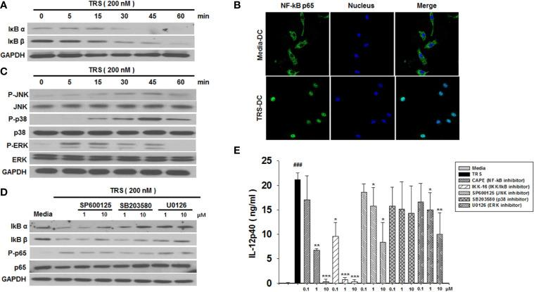 Threonyl-tRNA synthetase (TRS) activates dendritic cells (DCs) through the NF-κB and MAPK signaling pathways. (A) IκBα, IκBβ, and GAPDH expression levels, as measured by western blotting of DCs treated with TRS in a time-dependent manner (0–60 min). (B) The nuclear translocation of NF-κB p65, as detected by confocal laser scanning microscopy (LSM 800, Carl Zeiss, Oberkochen, Germany) of DCs treated with TRS (200 nM) for 1 h and then incubated with an anti-NF-κB p65 antibody (Ab), followed by staining with an Alexa Fluor 488-conjugated Ab and 4′,6-diamidino-2-phenylindole (DAPI). (C) DC culture method described in (A) . Western blotting for phosphorylated JNK, p38, and ERK or unphosphorylated JNK, p38, and ERK. (D) Levels of IκBα, IκBβ, NF-κB p65, and phosphorylated NF-κB p65, as detected via western blot analysis of DCs pretreated with the MAPK inhibitors (1, 10 μM) and treated for 30 min with TRS. (E) IL-12p40 levels in the supernatant, as detected via ELISA of DCs pretreated with the indicated inhibitors (0.1, 1, 10 μM) for 30 min and treated with TRS for 20 h. The media-treated DCs without inhibitors was analyzed as a control. Experiments were conducted three times independently and are represented as the mean ± SEM of results performed in triplicate (n = 3). Statistical significance was assessed using unpaired Student's t -test; ### P