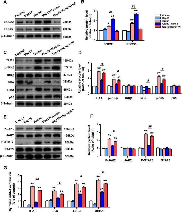 In vitro, the YAP inhibitor VP reverses the regulatory effect of Gap19 on the Cx43-YAP-SOCS axis. a , b At the beginning of hemin stimulation, astrocytes were treated with the YAP inhibitor VP. WB analysis showed that VP suppressed the increase in SOCS1/SOCS3 levels induced by Gap19 treatment. c , d Representative photos showing the levels of TLR4, p-IKKβ, IKKβ, IKBα, p65, p-p65, and β-tubulin after treatment with the YAP inhibitor VP. e , f Representative photographs showing the levels of JAK2, p-JAK2, STAT3, p-STAT3, and β-tubulin after treatment with the YAP inhibitor VP. g qRT-PCR analysis of the transcriptional activities of IL-1β, IL-6, TNF-α, and MCP1 in astrocytes after VP treatment. The bars represent the SEM of the data from 3 samples per group. * P