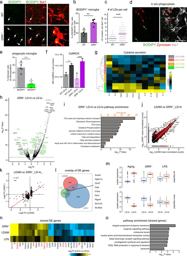GRN −/− mice possess high numbers of lipid droplet-rich microglia which functionally and partially transcriptionally resemble LDAM. a - c , BODIPY + and Iba1 + expression in the hippocampus of 9-month old male WT mice and age- and sex-matched GRN −/− mice. Representative confocal images ( a ), and quantification of BODIPY + /Iba1 + microglia ( b , P=0.0064) and of lipid droplet numbers per Iba1 + microglia ( c ). n = 5 mice per group. d , e , 250 μm organotypic brain slices from 9-month old GRN −/− mice were incubated for 4 hours with pHrodo red Zymosan particles. Representative confocal images of the hippocampus ( d ) and quantification of Zymosan uptake in BODIPY - and BODIPY + Iba1 + cells ( e ). n = 3 mice per group. f , Quantification of CellROX fluorescence in primary LD-lo and LD-hi microglia from 9-month old GRN −/− mice and age-matched wild type controls. g , Acutely isolated LD-lo and LD-hi primary microglia from 10-month old GRN −/− mice were treated with LPS (100 ng/ml) or PBS for 8 hours. Heatmap shows changes in cytokine secretion under baseline conditions (PBS) and after LPS treatment. h - k , RNA-Sequencing of BODIPY lo (=LD-lo) and BODIPY hi (=LD-hi) CD11b + CD45 lo microglia from the hippocampus of 10-month old GRN −/− mice. n = 3 biologically independent samples per group. Each sample is a pool of microglia from the hippocampi of two mice. h , Volcano plot showing differentially expressed genes in LD-hi versus LD-lo microglia. Dashed line represents q-value