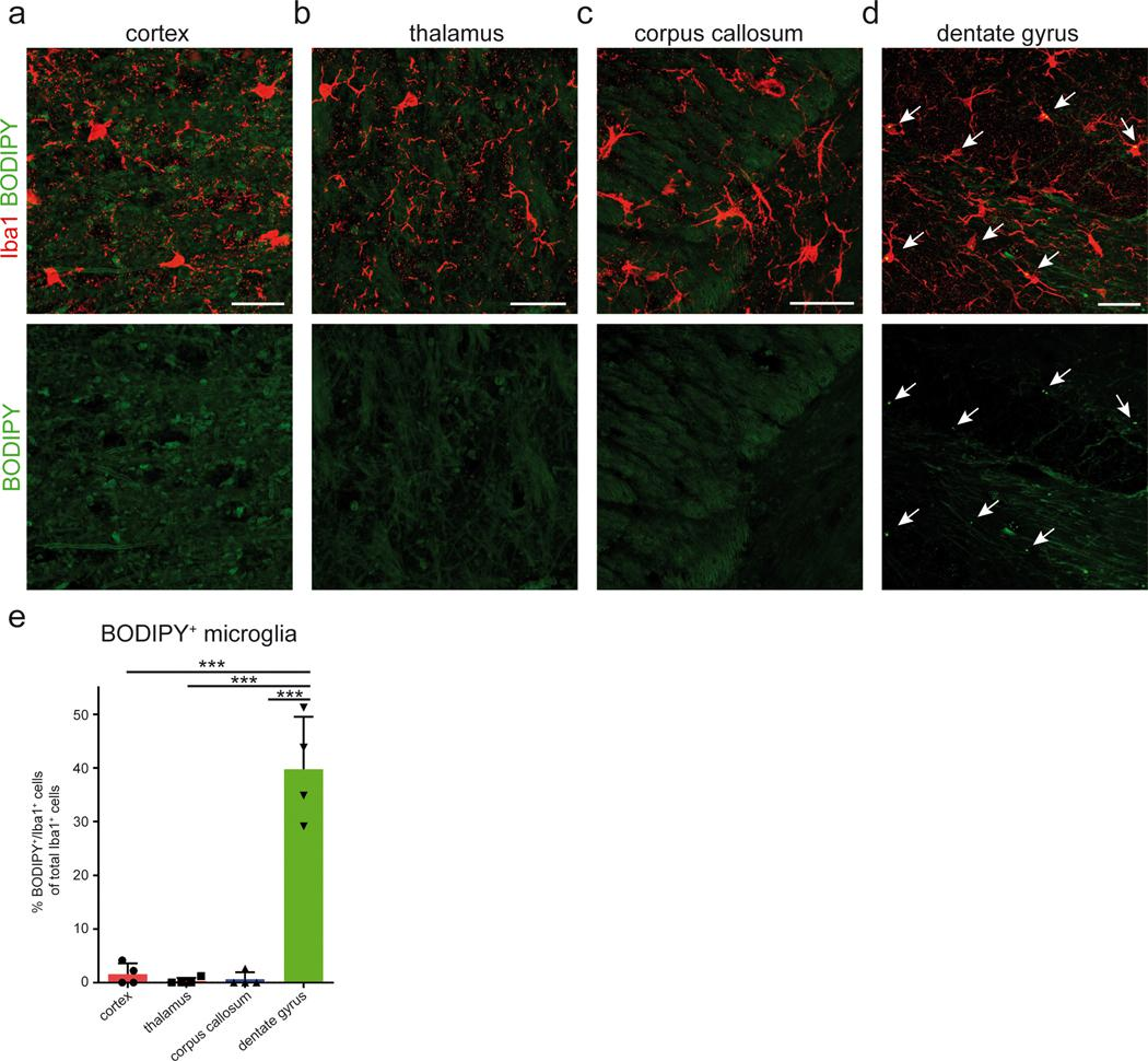 Lipid droplet accumulating microglia are abundant in the hippocampus but rare in other brain regions of aged mice. a – d , Representative confocal images of the cortex ( a ), thalamus ( b ), corpus callosum ( c ) and hippocampal dentate gyrus ( d ) from 20-month old male mice stained for BODIPY + (lipid droplets) and <t>Iba1</t> + (microglia). Scale bar: 20 μm. Arrows point towards BODIPY + lipid droplets. e, Quantification of BODIPY+/Iba1+ cells. n = 4 mice per group. One-way ANOVA followed by Tukey's post hoc test. Error bars represent mean ± SD. ***P
