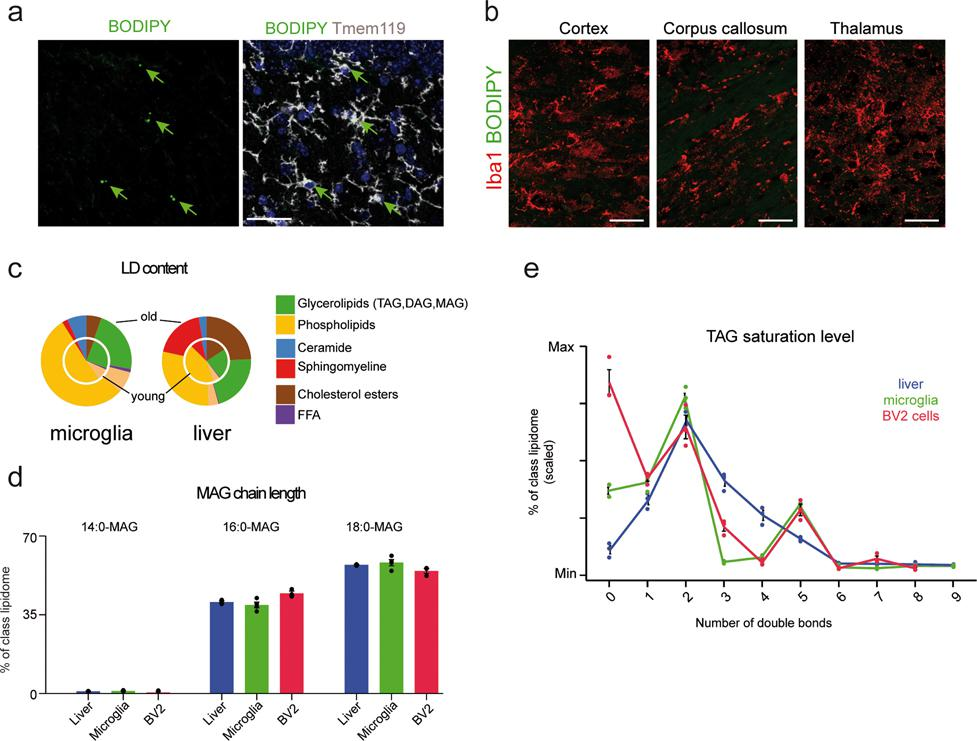 LPS treatment induces lipid droplet formation in microglia and in BV2 cells. a , b , 3-month-old male mice were given intraperitoneal (i.p.) injections of LPS (1 mg/kg BW) for four days. Representative confocal images of BODIPY + and Tmem119 + in the hippocampus ( a ) and of BODIPY and Iba1 staining in the cortex, corpus callosum, and thalamus ( b ). c - e , Lipidome profiling of lipid droplets from LPS-treated BV2 cells, primary microglia, and liver tissue. c , Pie charts showing that the lipid composition of lipid droplets from young and aged microglia is highly similar, but differs between young and aged liver tissue. d , e , Distribution of MAG chain lengths ( d ) and TAG saturation levels ( e ) of lipid droplets isolated from LPS-treated BV2 cells and from microglia and liver tissue from aged mice. young = 5-month-old male mice, old= 20-month-old male mice; n = 4 mice per group. Data in a-b were replicated in at least two independent experiments. Error bars represent mean ± s.e.m. Scale bars, 20 μm.