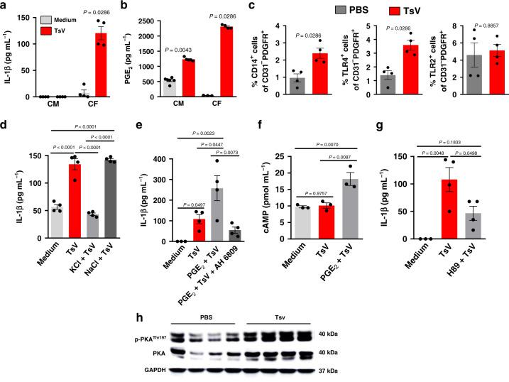 Cardiac fibroblasts release PGE2 and IL-1β upon TsV stimulation. a IL-1β and b PGE 2 concentration in supernatants of primary cultures of cardiac fibroblasts (CFs) and cardiomyocytes (CMs) incubated with medium or TsV ( a , b , n = 4–5 wells/per condition, one experiment). c Percentage of CFs (gated as CD31 - PDGFR + ) expressing CD14 + , TLR4 + , or TLR2 + as assessed by flow cytometry of heart cell suspensions from mice inoculated with PBS or TsV ( n = 4/group one experiment). d IL-1β concentration in the supernatants of CFs incubated with medium or TsV with or without KCl (50 mM) or NaCl (50 mM). e IL-1β concentration in supernatants of CFs pre-treated or not with PGE 2 10 µM 10 min before TsV, in the presence or absence of EP2 antagonist (AH6908, 1 µM, 30 min before PGE 2 ), followed by stimulation with TsV ( e , f , n = 4 wells/per condition, one experiment). f cAMP in primary CFs, pre-treated or not with PGE 2 (10 µM) 10 min before TsV stimulation ( n = 3 wells/per conditions, one experiment). g IL-1β concentration in supernatants of CFs, pre-treated or not with PKA inhibitor (H89, 25 µM) 120 min before stimulation with TsV ( n = 4 wells/per conditions, one experiment). For in vitro experiments, CF or CM cultures ( a – c , e – h ) were incubated with medium, as a control, or TsV (50 µg ml −1 ) for 24 h, except for cAMP quantification (5 min). Data are expressed as means ± SEM. h Western blotting analyses of total and phosphorylated PKA in heart homogenates from mice inoculated with PBS or TsV ( n = 4 mice/group, one representative of two experiments). For in vivo experiments ( d , i ), mice were inoculated with a lethal dose of TsV (180 µg kg −1 i.p./300 μl) or PBS (300 μl, i.p.), as a control, and euthanized after 60 min. C57Bl/6 mice were used for in vitro and in vivo experiments. Data are expressed as means ± SEM. Unpaired Student's t test with Mann–Whitney were applied to panel c , and one-way ANOVA followed by Bonferroni's multi-comparison test for panels