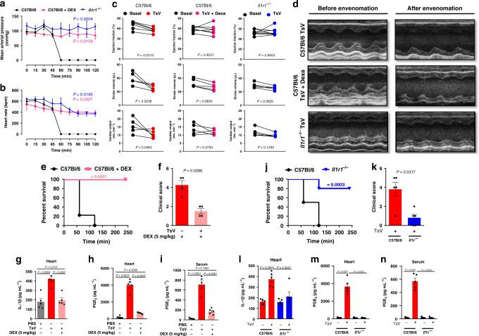 TsV-induced IL-1β/IL-1R signaling promotes cardiac dysfunction. a Arterial pressure and b heart rate were recorded in Il1r1 −/− or C57Bl/6 mice, treated or not with DEX, and challenged i.p. with a lethal dose of TsV ( n = 4–5, one experiment). Envenomed mice had their echocardiography examination performed for 15 min, starting 45 min after envenomation and ending 60 min after TsV. c Ejection fraction (EF), stroke volume (SV), and cardiac output (CO) ( n = 5–6, one experiment). d Representative M-mode image of echocardiographic examination of the left ventricle before and 45 min after inoculation with TsV in Il1r1 −/− or C57Bl/6 mice, treated or not with DEX. e Survival curves ( n = 10, one representative of two experiments), f clinical score ( n = 5, one representative of two experiments), g IL-1β, and h PGE 2 concentration in heart homogenates ( n = 5, one experiment), and i PGE 2 in the serum of C57Bl/6 mice inoculated with PBS or TsV and treated or not with DEX ( n = 5, one representative of two experiments). j Survival curves ( n = 10, representative of two experiments), k clinical score ( n = 5, representative of two experiments), l IL-1β, and m PGE 2 in heart homogenates ( n = 5, one experiment), and n PGE 2 in the serum of Il1r1 −/− mice inoculated with PBS or TsV (n = 5, representative of two experiments). In all experiments, mice were inoculated with a lethal dose of TsV (180 µg kg −1 i.p./300 μl) or the same volume of PBS. When indicated, DEX (5 mg kg −1 i.p.) was given therapeutically 15 min after the venom. Data are expressed as means ± SEM. Unpaired Student's t test with Mann–Whitney were applied to panels f , k . Paired t test was applied to panel c . One-way ANOVA followed by Bonferroni's multicomparison test for panels a , b , e , j , g – i , l – n . For survival ( e , j ), a log-rank test was performed. Exact P values are expressed in figures, while P