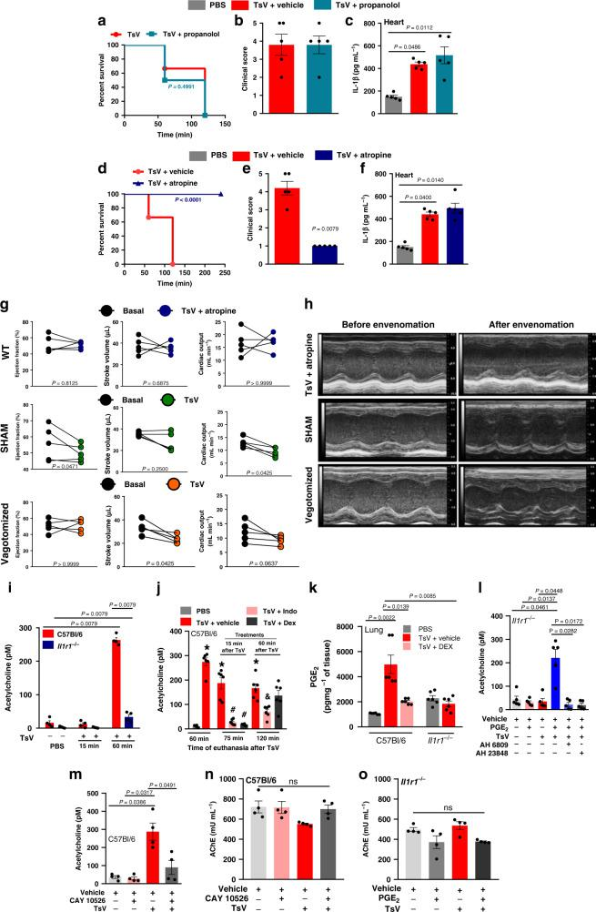 PGE2-EP2/EP4 signaling controls ACh release and cardiac dysfunction. In one set of experiments, C57Bl/6 mice were pre-treated with ( a – c ) vehicle or propranolol (4 mg kg −1 i.p., 60 min before), or ( d – f ) vehicle or atropine (2 mg kg −1 i.p., 60 min before), and then inoculated with TsV and observed for 240 min for ( a , d ) survival curves ( n = 10), or for 60 min for ( b , e ) clinical score. c , f IL-1β concentration in heart homogenates. b , c ; e , f , n = 4–5 one experiment. g Naive C57Bl/6 mice pre-treated with atropine (2 mg kg −1 i.p., upper panel) were inoculated 60 min after with a lethal dose of TsV ( n = 5), and a group of sham - operated (middle panel) or vagotomized animals (bottom panel) ( n = 5) were inoculated with a lethal dose of TsV for evaluation of ejection fraction (EF), stroke volume (SV), and cardiac output (CO) ( n = 5, one experiment). h Representative M-mode image of echocardiographic examination of the left ventricle of one mouse from each group described in ( g ). In a different set of experiments, i C57Bl/6 or Il1r1 −/− mice were inoculated with PBS or TsV for quantification of acetylcholine (ACh) in plasma at 15 and 60 min after envenomation ( n = 5, representative of two experiments). j C57Bl/6 were inoculated with TsV and 15 or 60 min after were treated with vehicle, indomethacin (2 mg kg −1 i.p.), or dexamethasone (5 mg kg −1 i.p.) for quantification of ACh in the plasma 75 and 120 min after the venom inoculation. ( n = 6, from two experiments with three mice each time). * P