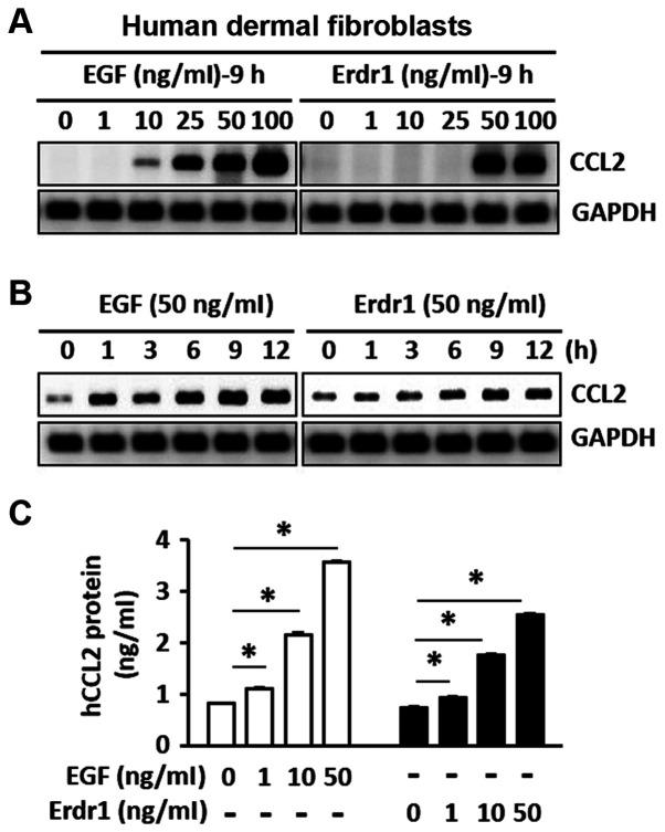 Erdr1 induces the production of CCL2 in HDFs. (A and B) The mRNA expression levels of CCL2 mRNA in HDFs treated with Erdr1, EGF or PBs (A) at various concentrations and (B) at different time points were determined using reverse transcription-PCR. (C) The protein levels of CCL2 in HDFs treated with Erdr1, EGF or PBs for 24 h were determined using ELISA. n=6. * P
