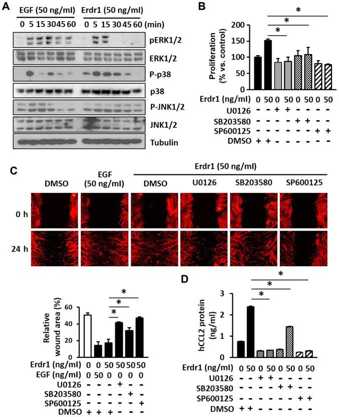 Erdr1 enhances the proliferation and migration of HDFs by inducing the production of <t>CCL2</t> via the activation of MAPK kinases. (A) The levels of ERK1/2, p-ERK1/2, p38, p-p38, JNK1/2 and p-JNK1/2 in HDFs treated with 50 ng/ml Erdr1, EGF or PBs for 5, 15, 30, 45 and 60 min were analyzed by western blotting. Tubulin was used as the loading control. The (B) proliferation and (C) migration of HDFs treated with 50 ng/ml Erdr1 or DMSO (control) for 24 h after pretreatment with the ERK1/2 inhibitor u0126 (20 µ M), the p38 inhibitor sB203580 (20 µ M) or the JNK1/2 inhibitor sP600125 (20 µ M) for 1 h was determined using the MTT and wound healing assays, respectively. n=6. (D) The levels of CCL2 protein were determined in HDFs pre-treated with 20 µ M u0126, sB203580 or sP600125 for 1 h and subsequently treated with 50 ng/ml Erdr1 for 24 h using ELISA. n=6. * P