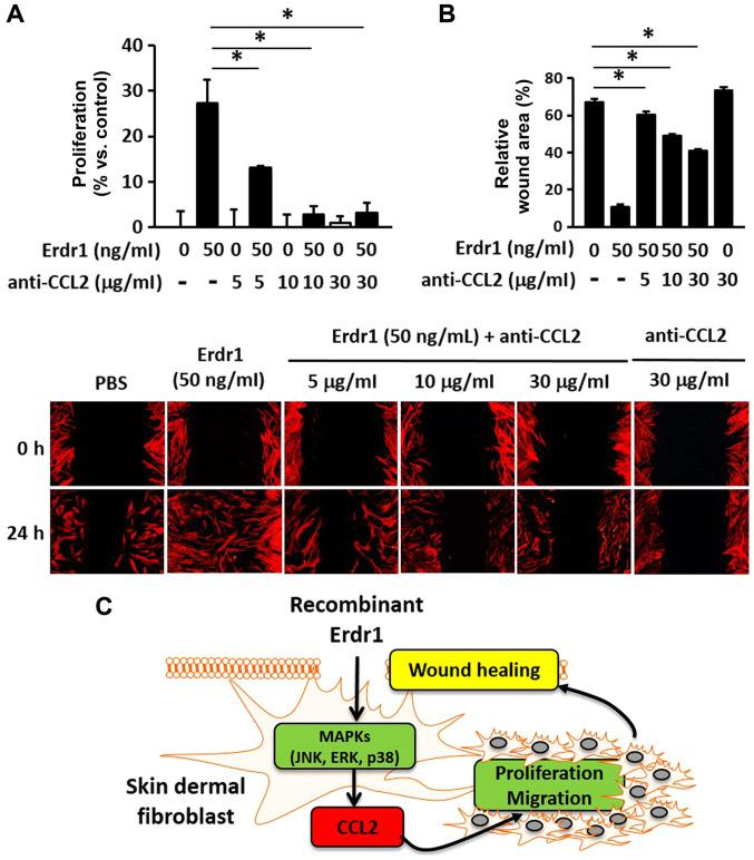 CCL2-neutralizing antibody inhibits the proliferation and migration of HDFs. (A) The proliferation of HDFs treated with 50 ng/ml Erdr1 or PBs at the indicated concentrations for 24 h following pretreatment with 1, 10 or 30 µ g/ml CCL2-neutralizing antibody was determined using the MTT assay. n=6. (B) Wound healing assay in HDFs treated with 50 ng/ml Erdr1 or PBs for 24 h following pretreatment with 1, 10 or 30 µ g/ml CCL2-neutralizing antibody. n=6. (C) The proposed scheme of the therapeutic action of Erdr1 in wound repair. * P