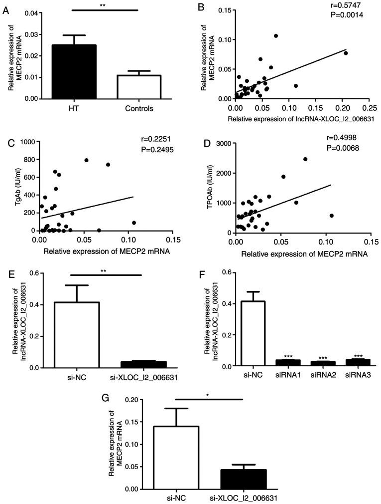 Potential prediction of lncRNAs target genes and the effect of lncRNA-XLOC_I2_006631 on the transcription of MECP2. (A) Relative expression of MECP2 mRNA in PBMCs from patients with HT and healthy controls was detected via RT-qPCR. (B) Correlation between the transcript levels of MECP2 and lncRNA-XLOC_I2_006631 in patients with HT. The correlations between the transcript levels of MECP2 and the serum concentrations of (C) TgAb and (D) TPOAb. (E) Purified PBMCs was transfected with lncRNA-XLOC_I2_006631-specific siRNAs and NC (100 nM) in the presence of functional anti-human CD3 mAb and anti-human CD28 mAb. (F) Transcript levels of lncRNA-XLOC_I2_006631 were detected via RT-qPCR after transfection with lncRNA-XLOC_I2_006631-siRNA1-3 and NC. (G) Transcript level of MECP2 was detected after transfection. Each data point represents an individual subject, horizontal lines represent the mean. * P