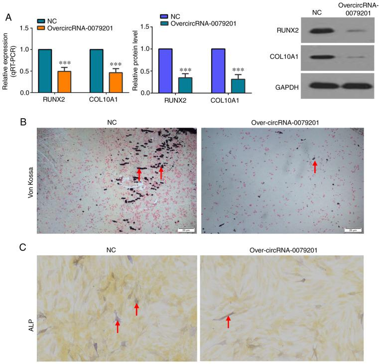 OvercircRNA-0079201 inhibits chondrocyte hypertrophy and endochondral ossification. (A) The protein and mRNA expression level of RUNX2 and COL10A1 was decreased in cells transfected with over-circRNA-0079201, detected using western blot analysis and RT-qPCR, respectively. (B) Von Kossa staining showed the reduced mineralization in cells transfected with overcircRNA-0079201. The positive spots are indictaed using a red arrow. (C) ALP staining revealed that ALP activity was reduced in cells transfected with overcircRNA-0079201. The positive spots are indicated using a red arrow. The data are presented as the mean ± SD. n=3. *** P