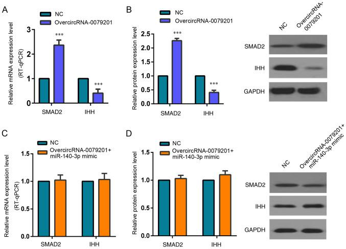 <t>hsa_circRNA_0079201</t> significantly increases SMAD2 expression by suppressing miR-140-3p. SMAD2 (A) mRNA and (B) protein expression level was increased compared with that in the control group following overcircRNA_0079201. The expression of IHH, a SMAD2 target gene, was decreased compared with that in the control group following overcircRNA_0079201. (C and D) Though SMAD2 showed upregulation in the overcircRNA_0079201 group compared with the normal control group, no significant difference was observed in the SMAD2 mRNA or protein expression levels between the overcircRNA_ 0079201+ miR-140-3p mimic group and normal control group. Like SMAD2, IHH expression did not also demonstrate significant difference between the overcircRNA_ 0079201+ miR-140-3p mimic group and normal control group. This indicated hsa_circRNA_0079201 significantly increases SMAD2 expression and decreased IHH expression by suppressing miR-140-3p. The data are presented as the mean ± SD. n=3. *** P