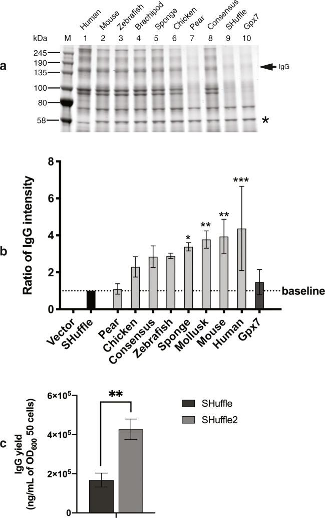 SHuffle expression of Humira IgG is improved by Gpx7-PDI fusions. a Effects of PDI-GPx7 fusions on the folding of Humira IgG is evaluated by protein A purification from soluble SHuffle lysates grown in shake-flask conditions. Samples were separated in non-reducing SDS-PAGE. The expected size of Humira IgG (150 kDa) is indicated with an arrow. Data are representative of three independent experiments. b Evaluation of PDI-GPx7 fusions on the Humira IgG folding conducted by quantifying the intensity of the band representing Humira to a contaminating band used to normalize loading amounts (*), ( n = 3). One-way ANOVA with alpha = 0.05, *** p value ≤ 0.001, ** p value ≤ 0.01, * p value ≤ 0.05. c Yields of protein A purified Humira antibody, produced in SHuffle or SHuffle2 strains grown in shake flasks from three independent cultures ( n = 3). Unpaired t test with alpha = 0.05, ** p value ≤ 0.01