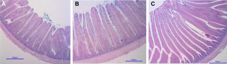 Effects of supplementation with <t>Monensin</t> (Antibiotic, 66 ppm Coban; Elanco Animal Health, Greenfield, IN) and functional oils (0.15% Essential, Oligo Basics Agroindustrial Ltda., Cascavel, Brazil) on histological morphology of jejunum mucosa in turkey toms experiment 1. Each panel is representative of jejunal morphological characteristics of birds from each treatment group in experiment 1: A = control, B = monensin, and C = functional oils. For 12 wk, 585 male turkeys were randomly assigned to one of 3 dietary treatments: (1) control, (2) 0.15% of functional oils in basal diet, or (3) 66 ppm of monensin in a basal diet. At week 13 to week 20, each of 3 treatments were subdivided into 3 additional treatment groups (control-no additive added, 0.15% of functional oils, or 20 ppm of virginiamycin). Jejunal morphometric characteristics using standard histological processes and staining methods were used at 21 D of age with 6 birds per treatment. Villi surface area was calculated using 10 readings per replicate per variable, using the following equation: villi surface = [(UVW + BVW)/2] × VH. Abbreviations: BVW, bottom villi width; UVW, upper villi width; VH, villus height.