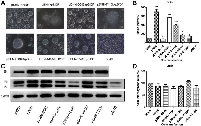 Analysis of fusion-promotion and cleavage-promoting activities of the HN mutant proteins. (A) HN mutant plasmid and F plasmid were cotransfected into <t>BHK21</t> cells for 36 h, and then the fusion regions were photographed on an inverted microscope with 400-fold amplification, Bar = 20 μm. (B) The areas of 40 fusion regions were separately measured by using the software ImageJ as the fusion index of these HN mutant proteins. (C) After 36 h of cotransfection, the amount of each HN or F (F 0 and F 1 ) protein was determined by Western blot analysis using the HA or Flag label-specific mouse primary antibody and corresponding secondary antibody, and then determined the fusion-promotion activity of HN mutant proteins. (D) Those results of Western blot were quantified by densitometry using the ImageJ software. ∗ P