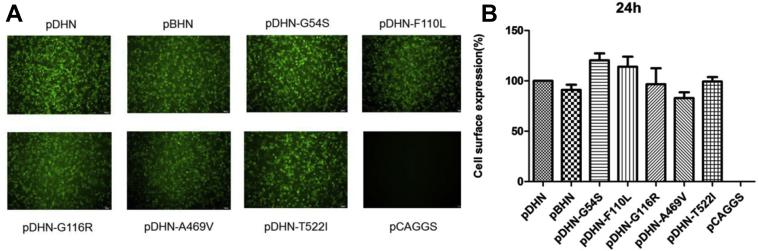 Analysis of cell surface expression efficiency of the HN mutant proteins. (A) The expression of the HN mutant proteins was detected by immunofluorescence assay (IFA). The HN mutant plasmid was transfected into BHK21 cells for 24 h, then the cells were incubated with primary antibody of anti-HA and secondary antibody of anti-Fluorescein Isothiocyanate (FITC), and then cells were photographed on a fluorescent inverted microscope with 100-fold magnification, Bar = 100 μm. (B) The surface expression efficiency of the HN mutant protein was detected by flow cytometry (FCM) assay. The HN mutant plasmid was transfected into BHK21 cells for 24 h, and cells were incubated with primary antibody and secondary antibody as mentioned previously, and then cell surface fluorescence intensity was measured by using a flow cytometer.