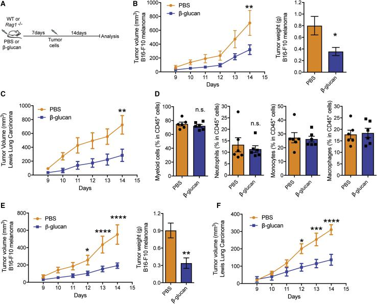 Induction of Trained Immunity Inhibits Tumor Growth (A) Experimental scheme. (B) C57BL/6 WT mice received a single i.p. injection of β-glucan or PBS and 7 days thereafter, mice were subcutaneously inoculated with B16-F10 melanoma cells. Shown on the left, tumor volume was monitored for another 14 days after tumor inoculation. Shown on the right, tumor weight at the end of the experiment (n = 6 mice in the PBS group; n = 7 mice in the β-glucan group). (C) C57BL/6 WT mice received a single i.p. injection of β-glucan or PBS and 7 days thereafter, mice were inoculated with LLC cells. Tumor volume is shown (n = 7 mice in the PBS group; n = 5 mice in the β-glucan group). (D) C57BL/6 WT mice received β-glucan or PBS and 7 days thereafter, mice were inoculated with B16-F10 melanoma cells. Flow-cytometric analysis for immune cells that are infiltrated in the B16-F10 melanoma tumors was performed at the end of the experiment. Frequencies of myeloid cells (CD45 + CD11b + ), neutrophils (CD45 + CD11b + Ly6g + Ly6c − ), monocytes (CD45 + CD11b + Ly6g − Ly6c + ), and macrophages (CD45 + CD11b + F4/80 + ) within leukocytes (CD45 + ) are shown (n = 6 mice per group). (E) Rag1 −/− mice received a single i.p. injection of β-glucan or PBS and 7 days thereafter, mice were inoculated with B16-F10 melanoma cells. Shown on the left is tumor volume; on the right is tumor weight at the end of the experiment (n = 8 mice in the PBS group; n = 5 mice in the β-glucan group). (F) Rag1 −/− mice received β-glucan or PBS and 7 days thereafter, mice were inoculated with LLC cells. Tumor volume is shown (n = 16 mice in the PBS group; n = 12 mice in the β-glucan group). Data are presented as mean ± SEM; n.s., non-significant; ∗ p