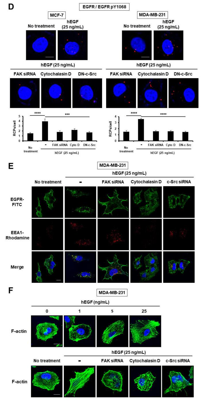 EGF induces EGFR dimerization and endocytosis through c-Src/FAK-mediated cytoskeleton reorganization. ( A , D ) The dimerization level of EGFR was assessed by in situ proximity ligation assay (PLA). ( B , C ) For dimerization assay, human breast carcinoma cells were treated with increasing concentrations of EGF in the presence or absence of cytochalasin D for 1 h on ice, to allow for EGF-induced EGFR dimerization but not endocytosis. Cells were subjected to BS 3 chemical-mediated crosslinking as described in Materials and Methods. To determine the phosphorylation level of EGFR at Y1068, cells were incubated in serum-free medium (SFM) with EGF for 15 min at 37 °C. Cell extracts were assessed by Western blot analysis with the indicated antibodies. β-actin was used as a loading control. ** p