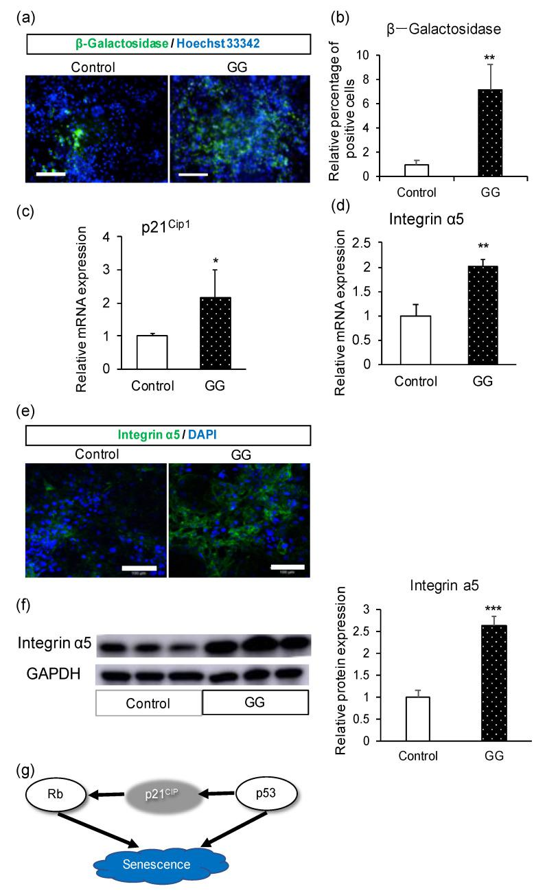 Mechanistic analysis of the effect of GG in enterocyte differentiation. ( a ) Immunofluorescence images of the senescence marker β-galactosidase. ( b ) Relative percentage of β-galactosidase-positive cells. ( c ) Relative mRNA expression levels of p21 Cip1 . ( d ) Relative mRNA expression levels of integrin α5. ( e ) Immunofluorescence images of integrin α5. ( f ) Western blotting analysis of integrin α5 and relative protein expression. ( g ) Proposed scheme showing the relationship between p21 Cip1 and senescence. Scale bars = 100 μm. All data are presented as mean ± S.D. ( n = 3). Control = 1. Levels of statistical significance compared with the control group: * p