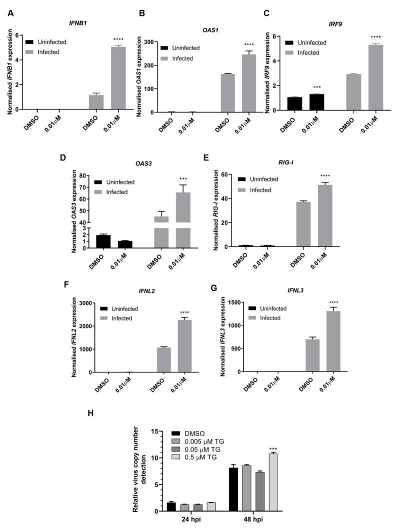 TG priming enhanced type I/III IFN-dependent gene expression. ( A – G ) NHBE cells were incubated for 30 min with DMSO or 0.01 µM TG and subsequently infected with USSR H1N1 virus at 0.5 MOI for 24 h. Total RNA was extracted from each sample for type I/III IFN and indicated associated gene expression, normalised to 18S rRNA. Significance determined by two-way ANOVA, relative to corresponding DMSO control. ( H ) Vero cells were primed with TG as indicated for 30 min, washed twice with PBS and infected with USSR virus 0.5 MOI. Viral RNA extraction was performed on culture media at 24 and 48 hpi followed by one-step reverse transcription qPCR to detect the relative copy number of M-gene RNA, based on relative Ct method. Vero cells are unable to produce type I IFNs, which appear necessary for TG to induce an antiviral state. Indicated significance based 2-way RM ANOVA relative to corresponding DMSO control. *** p
