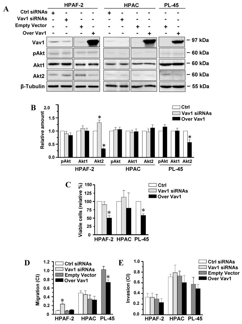 Vav1-dependent modulation of Akt2 and motility in PDAC-derived cell lines. ( A ) Representative Western blot analysis with the indicated antibodies of total lysates from HPAF-2, HPAC, and PL-45 pancreatic cancer cells transfected with siRNAs specific for Vav1 (Vav1 siRNAs) or with a construct expressing the full-length human Vav1 (Over Vav1). Scramble siRNAs (Ctrl siRNAs) and an empty vector were controls. In ( B ), levels of pAkt1/2/3, Akt1, and Akt2 as deduced from the densitometry of immunochemical bands normalized with β-Tubulin. Levels are shown as fold changes relative to the respective controls (Ctrl), taken as 1. In ( C ), percentage of viable cells relative to controls (Ctrl). In ( D , E ), xCELLigence-driven dynamic monitoring of migration and invasion of cells under the same experimental conditions. Cell Index (CI) after 24 h was reported. Error bars indicate ± SD from three experiments in triplicate. * p