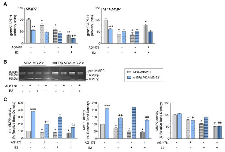 EGFR inhibition affects the expression and activity levels of proteases in MDA-MB-231 and shERβ MDA-MB-231 breast cancer cells. ( A ) Quantitative RT-PCR analysis of MMP7 and MT1-MMP mRNA levels after 24 h without and with treatments (AG1478, E2 and mix). ( B , C ) MMP2/MMP9 gelatinolytic activities (as assayed by gelatin zymography) in MDA-MB-231 and shERβ MDA-MB-231 cells, before and after treatments (AG1478, E2, mix and 24 h). Each bar represents mean ± SD values from triplicate samples. Statistically significant differences are indicated accordingly: * p