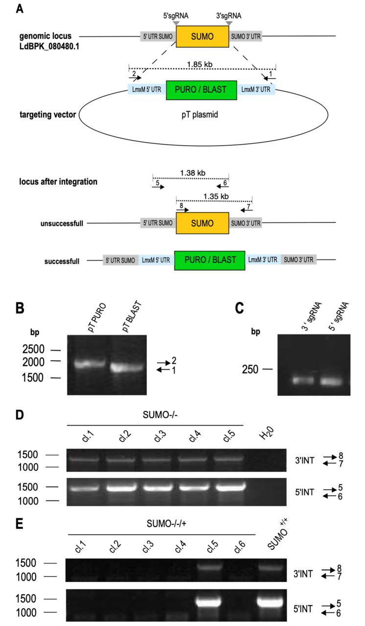 Replacement of SUMO in Leishmania donovani. ( A ) Schematic representation of LdBPK_080480.1 replacement using the CRISPR/Cas9 technology. SUMO -targeting sgRNAs (grey) and the replacement cassettes were PCR-amplified and transfected into a Cas9/T7-RNAP-expressing L. donovani strain. Two sets of genotyping primers were used to test for the presence of the gene of interest (GOI) ( B ) Gene-specific replacement cassettes amplified from pTPURO or pTBLAST vector were analyzed by agarose gel electrophoresis and ethidium bromide staining. The position of the DNA size marker is indicated on the left, the primers used are indicated on the right. ( C ) Amplified sgRNA-coding sequences were separated on a 1% agarose gel and stained with ethidium bromide. ( D ) Genotyping of putative gene replacement mutant clones with primer pairs 7+8 or 5+6. PCR products were analyzed by 1% agarose gel electrophoresis. Positions of DNA size markers are shown to the left; the primer pairs are indicated on the right. ( E ) Genotyping of gene replacement mutants in the SUMO over expression background (SUMO −/−/+ ) indicated primer pairs.