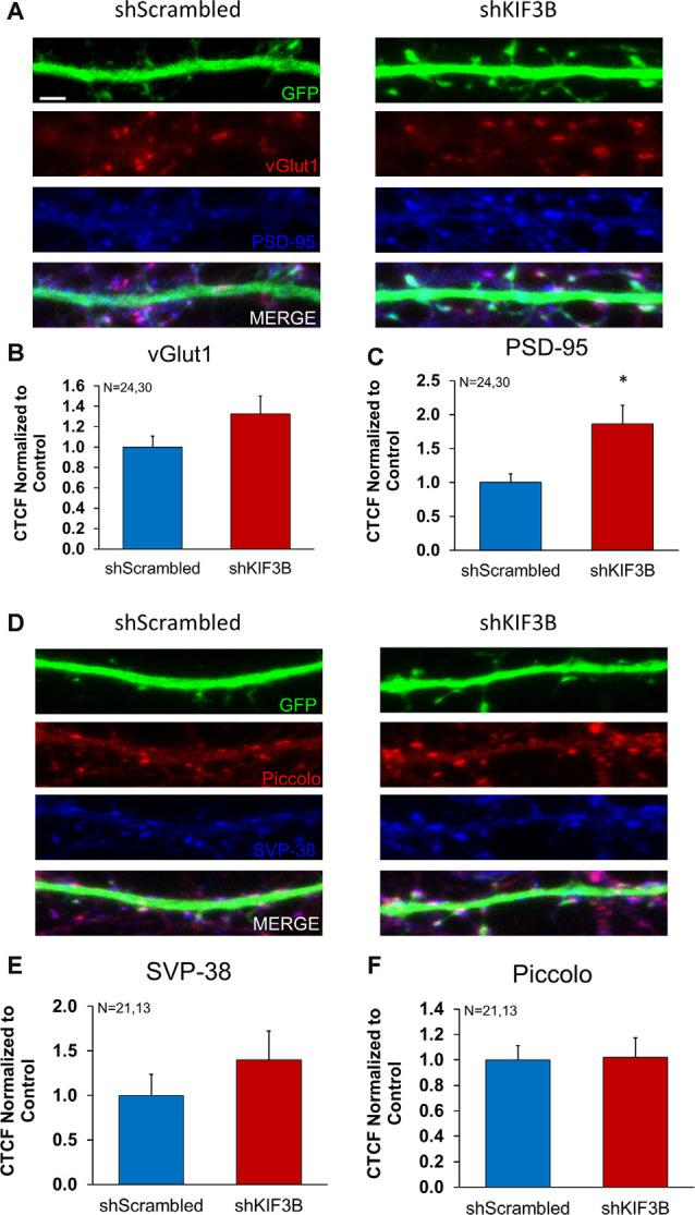 Expression of pre- and postsynaptic proteins in KIF3B knockdown cortical neurons. (A,D) Representative confocal images of cortical neurons 72 h after transfection with shScrambled and shKIF3B. (B,C,E,F) The bar graph depicts the corrected total cell fluorescence (CTCF) of Synaptophysin, Piccolo, PSD-95, and VGLUT1 analyzed using ImageJ (NIH). Student t -test, * P