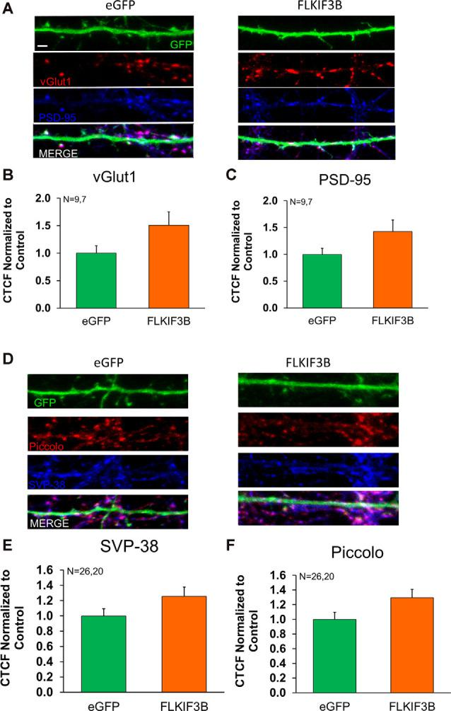 Expression of pre- and postsynaptic proteins in KIF3B overexpressed cortical neurons. (A,D) Representative confocal images of cortical neurons 48 h after transfection with eGFP and FLKIF3B. (B,C,E,F) The bar graph depicts the total number of <t>PSD-95</t> and VGLUT1 punta per μm of GFP. The analysis was performed using ImageJ (NIH). Student t -test, ns P > 0.05. Scale bar, 2 μm, N (number of neurons) is indicated per group. Error bars are SEM. Data used for preparing plots are shown in Supplementary Table 7 .