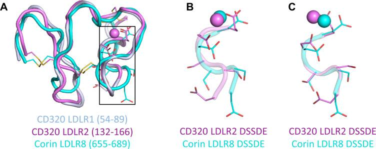 Structural alignments of the LDLR domains of human CD320. ( A ) The structure alignments of human CD320 LDLR1 (residues 54–89) (light blue) and LDLR2 (residues 132–166) (violet), and corin LDLR8 module (residues 655–689) (cyan) with the calcium ions (spheres) and side chains and disulfide bonds (sticks). ( B ) The DSSDE motifs in CD320 LDLR2 and corin LDLR8 modules are enlarged from ( A ). ( C ) The local alignment of the DSSDE motifs in CD320 LDLR2 and corin LDLR8 modules.