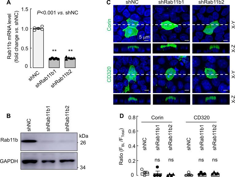 Effects of Rab11b knockdown on corin and CD320 expression in MDCK cells. MDCK cells were transfected with non-targeting (shNC) or two sets of RAB11B -targeting (shRab11b1 and shRab11b2) shRNAs. Quantitative RT-PCR ( A ) and western blotting ( B ) were used to examine Rab11b mRNA and protein expression, respectively, in the shRNA-transfected MDCK cells. ( C ) Apical corin (top panels) and CD320 (lower panels) expression in the shRNA-transfected MDCK cells was examined by immunostaining and confocal microscopy with X-Y and X-Z views indicated. ( D ) Quantitative data of the ratio of F BL /F Total for corin and CD320 expression on apical and basolateral membranes in shRNA-transfected MDCK cells from four experiments. Statistical analysis was done with ANOVA. n.s., not significant vs . respective controls in each experiment. Key Resources Table. Information on genes, cell lines, plasmids and antibodies. Source data for Figure 8—figure supplement 2A . Source data for Figure 8—figure supplement 2D .