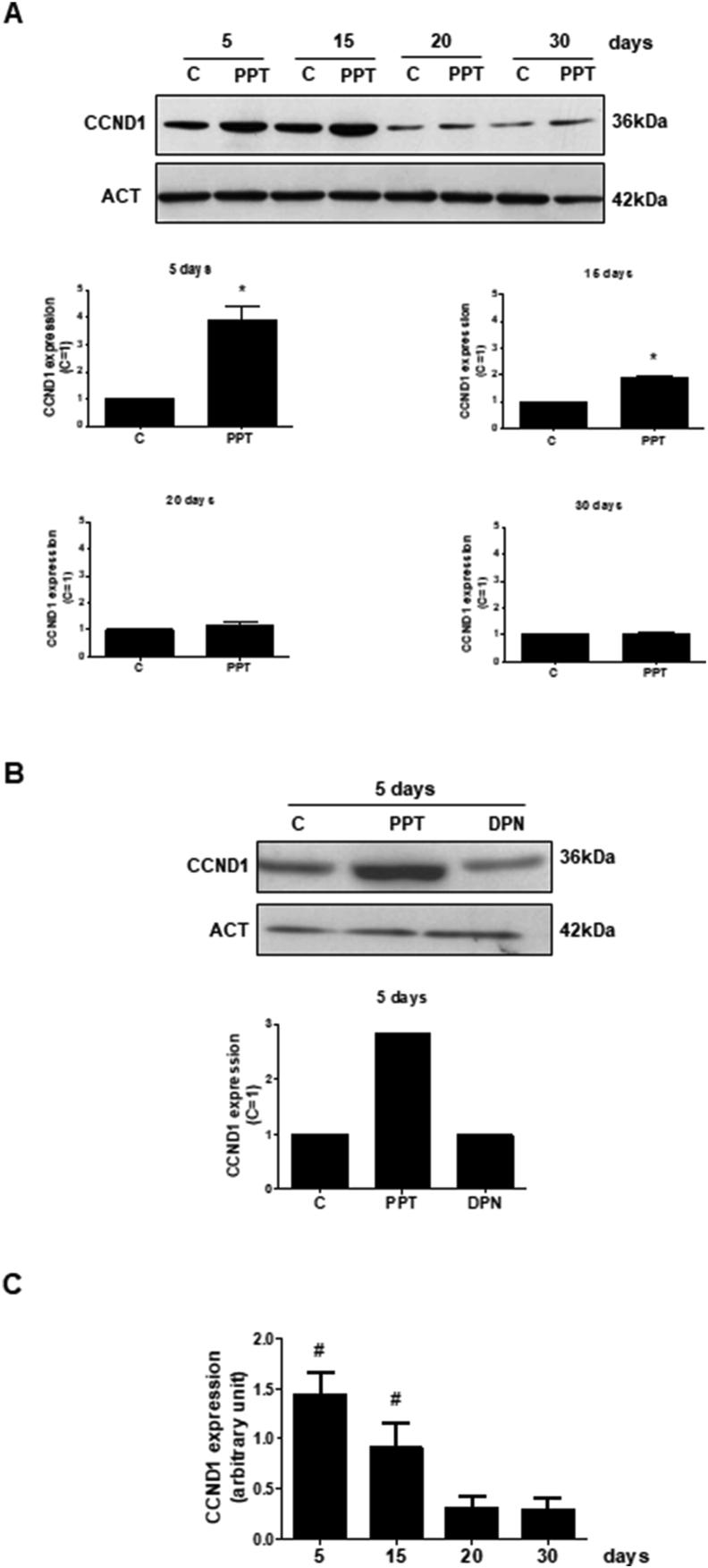 Effects of ESR1-selective agonist PPT and ESR2-selective agonist DPN on the expression of CCND1 in the Sertoli cells from 5-, 15-, 2 0- and 30-day-old rats . A. Sertoli cells from 5-, 15-, 20- and 30-day-old rats were incubated in the absence (C, control) and presence of PPT (10 nM) for 24 h. The relative positions of CCND1 (top panel) and ACT (bottom panel) proteins are shown at the right. The data shown are representative of four independent experiments (top and bottom panels). See, full image in Supplemental Fig S1. Bars represent the densitometric analysis of four independent experiments. Results were normalized to ACT expression in each sample and plotted (mean ± SEM) in relation to control, C (=1). ∗Significantly different from control ( P