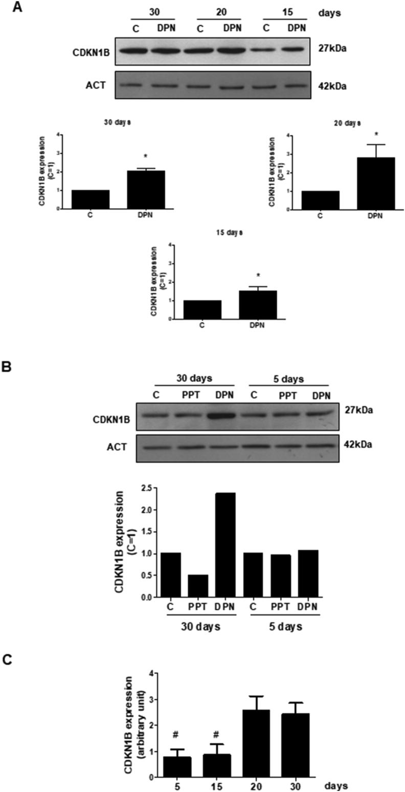 Effects of ESR1-selective agonist PPT and ESR2-selective agonist DPN on the expression of CDKN1B in the Sertoli cells from 5-, 15-, 20- and 30-day-old rats. A. Sertoli cells from 30-, 20- and 15-day-old rats were incubated in the absence (C, control) and presence of DPN (10 nM) for 24 h. The relative positions of CDKN1B (top panel) and ACT (bottom panel) proteins are shown at the right. The data shown are representative of four independent experiments (top and bottom panels). See, full image in Supplemental Fig S3. Bars represent the densitometric analysis of four independent experiments. Results were normalized to ACT expression in each sample and plotted (mean ± SEM) in relation to control (C = 1). ∗Significantly different from control ( P