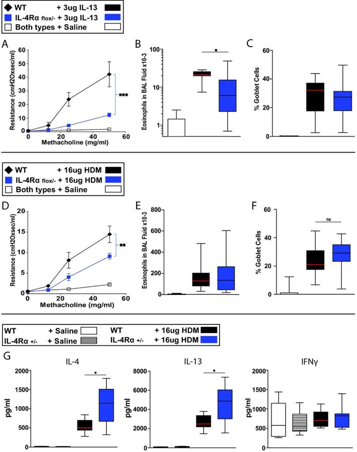 A single functional IL-4Rα allele is sufficient for induction of maximal GCM and IL-4 and IL-13 responses, but not AHR. A–C: mice were treated i.t. with 3 µg IL-13 daily for 7 days. A. Invasive measurement of AHR. B. Absolute eosinophil count of BAL fluid. C. Quantitation of GCM. D-G. Mice were treated i.t. with 16 µg HDM extract (produced in our lab) every other day over 14 days. D. Invasive measurement of AHR. E. Absolute eosinophil count of BAL fluid. F. Quantitation of GCM. G. Measurement of cytokine production in vivo for the ~24hrs following the seventh i.t. treatment with HDM or saline. A–C. 8, 17 and 18 mice for the experimental groups: WT + IL-13, IL-4Rα flox/− + IL-13 and both genotypes + saline, respectively. D–F. 17, 24 and 33 mice for the experimental groups: WT + HDM, IL-4Rα flox/− + HDM and both genotypes + saline, respectively. G. 5, 8, 7 and 8 mice for the groups: WT + saline, IL-4Rα +/− + saline, WT + HDM and IL-4Rα +/− + HDM, respectively. Because of breeding constraints, WT mice and IL-4Rα +/− mice were not littermates to IL-4Rα flox/− or to themselves. NS, not significant; *, p
