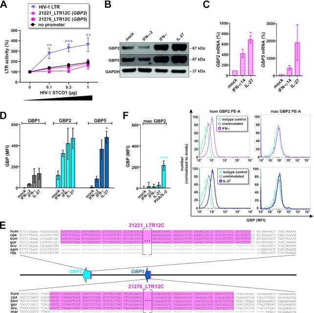 LTR12C repeats are associated with responsiveness of GBPs to cytokine stimulation. ( A ) HEK293T cells were co-transfected with the indicated firefly luciferase promoter reporter plasmids, a Gaussia luciferase control vector and increasing amounts of the HIV-1 STCO1 clone. Two days post transfection, luciferase activities were determined. Mean values of 4–9 independent experiments ± SEM are shown. ( B ) Primary human CD4 + T cells were stimulated with IFN-α2 (500 U/ml), IFN-γ (200 U/ml) or IL-27 (5 ng/ml) for 3 days or left untreated, and GBP2 and GBP5 expression was analyzed by Western blotting. One representative Western blot is shown. ( C ) Primary human CD4 + T cells were stimulated with IFN-α14 (50 ng/ml) or IL-27 (5 ng/ml) for 3 days or left untreated, and GBP2 and GBP5 mRNA levels were determined by qPCR. Mean values of three independent donors ± SEM are shown. ( D ) Primary human PBMCs were stimulated with IFN-α2 (500 U/ml) IFN-γ (200 U/ml) or IL-27 (50 ng/ml) for 3 days or left untreated, and GBP1, GBP2 and GBP5 expression was analyzed by flow cytometry. Mean values of three independent donors ± SEM are shown. ( E ) Alignment of the LTR12C integration sites upstream of GBP2 and GBP5 in humans (hum), chimpanzees (cpz), bonobos (bon), gorillas (gor), orangutans (oru), African green monkeys (agm), rhesus macaques (rhe) and marmosets (mar). ( F ) Primary rhesus macaque PBMCs were stimulated with IFN-α2 (500 U/ml), IFN-γ (200 U/ml) or IL-27 (50 ng/ml) for 3 days or left untreated, and GBP2 expression was analyzed by flow cytometry. Mean values of four independent donors ± SEM are shown. (* P