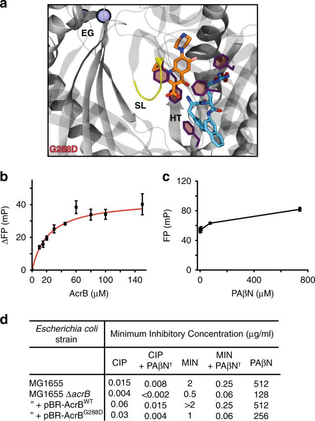 "AcrB G288D is inhibited by the EPI PAβN. a Molecular docking and multi-copy μs-long MD simulations reveal stable interactions of CIP (orange) and PAβN (cyan) to AcrB G288D T-state monomer and show their likely binding locations. The pose and its orientation are the same as shown for AcrB WT in Fig. 3c . EG = exit channel gate (blue spheres), SL = switch-loop (yellow), and HT = hydrophobic trap (purple). All computational data, including binding free energies can be found in Supplementary Table 5 and Supplementary Figs. 8 , 14 – 16 . b Binding of CIP by AcrB G288D in the presence of 150 μM of PAβN as determined by a fluorescence polarization assay performed by Su et al. 39 . All data are fit as in Fig. 3a ( R 2 = 0.99). Data are the average and standard deviation from independent measurements ( n = 3). c Binding competition assay between PAβN and CIP for AcrB WT . Data are the average and standard deviation from independent measurements ( n = 3). d MIC assays of Escherichia coli containing AcrB WT or AcrB G288D in the presence of PAβN and antibiotics. AcrB was overexpressed in MG1655 ∆acrB from a pBR322 plasmid containing its corresponding acrAB genes, natural promoter and ""marbox"" sequence. Minocycline = MIN, ciprofloxacin = CIP, and phenylalanine-arginine-β-naphthylamide = PAβN. † PAβN was added at a concentration of 50 μg/ml."