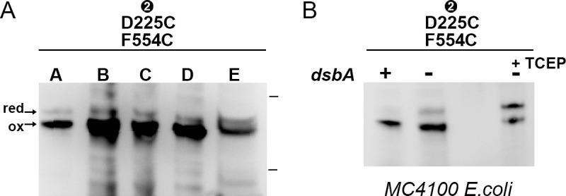 Expression of CdiB Ab double cysteine variant. ( A ) Western blot of isolated membrane fraction from CdiB D225C/F554C double cysteine variant (represented by bold letters A to E). Fraction A, bacterial pellet fraction ('P 'lane from Figure 5A ). Fraction B, bacterial lysate fraction homogenized three times. Fraction C, supernatant fraction after centrifugation at 7000 g (where inclusion bodies and unlysed cells are removed). Fraction D, pellet from ultracentrifugation at 160,000 g to isolate membrane fractions after a 2% Triton wash (which removes soluble and inner membrane proteins). Membrane fractions are resuspended in 50 mM Tris-HCl, pH7.4, 200 mM NaCl, and solubilized by constant stirring in 5% Elugent. Fraction E, supernatant of a second ultracentrifugation at 220,000 g containing solubilized membrane proteins. As seen in Figure 5 , β1–β16 are mostly crosslinked in the D225C-F554C mutant where 'ox' and 'red' indicate the oxidized and reduced form, respectively. Protein ladder bands indicate 70 and 50 kDa. ( B ) Western blot analysis of bacterial pellet from CdiB Ab D225C/F554C variant expressed in MC4100 E. coli parent cell (dsbA '+') and MC4100 E. coli dsbA:ChloroR strain (dsbA '-'), in absence (second lane) or presence of TCEP ('+TCEP').
