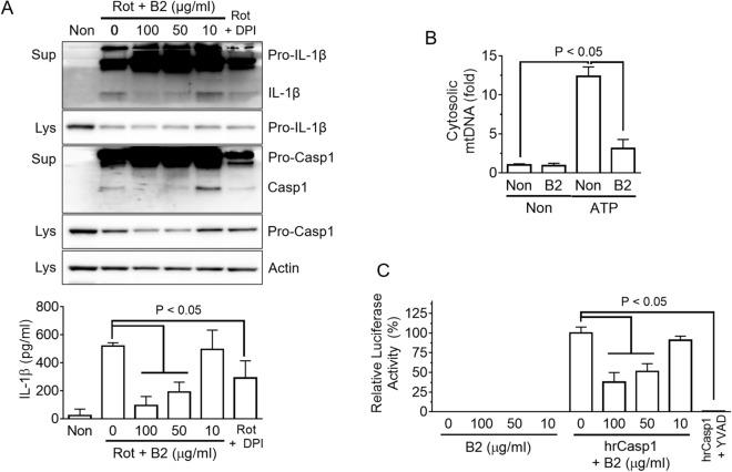 Mechanistic study of the anti-inflammasome property of riboflavin. ( A ) LPS-primed BMDMs were treated with rotenone (Rot) with/without riboflavin (B2). The maturation and secretion of IL-1β and Casp1 were analyzed by immunoblotting and the secretion of IL-1β was analyzed by ELISA. Diphenyleneiodonium chloride (DPI) was used as a ROS scavenger. ( B ) LPS-primed BMDMs were treated with ATP in the presence of B2. The <t>cytosolic</t> release of mitochondrial <t>DNA</t> (mtDNA, cytochrome c oxygenase 1/18S rDNA) was measured by quantitative real-time PCR. ( C ) The activity of human recombinant caspase-1 (hrCasp1) in the presence of B2 was measured using a commercial kit, which is a modified luciferase assay. Briefly, hrCasp1 catalyzes Z-WEHD-aminoluciferin to aminoluciferin, a substrate of luciferase, resulting in the generation of light, which represents the activity of Casp1. Ac-YVAD-CHO (YVAD, the kit supplied) was utilized as a caspase-1 inhibitor. All immunoblot data shown are representative of at least two independent experiments. The bar graph presents the mean ± SD with at least two independent experiments.