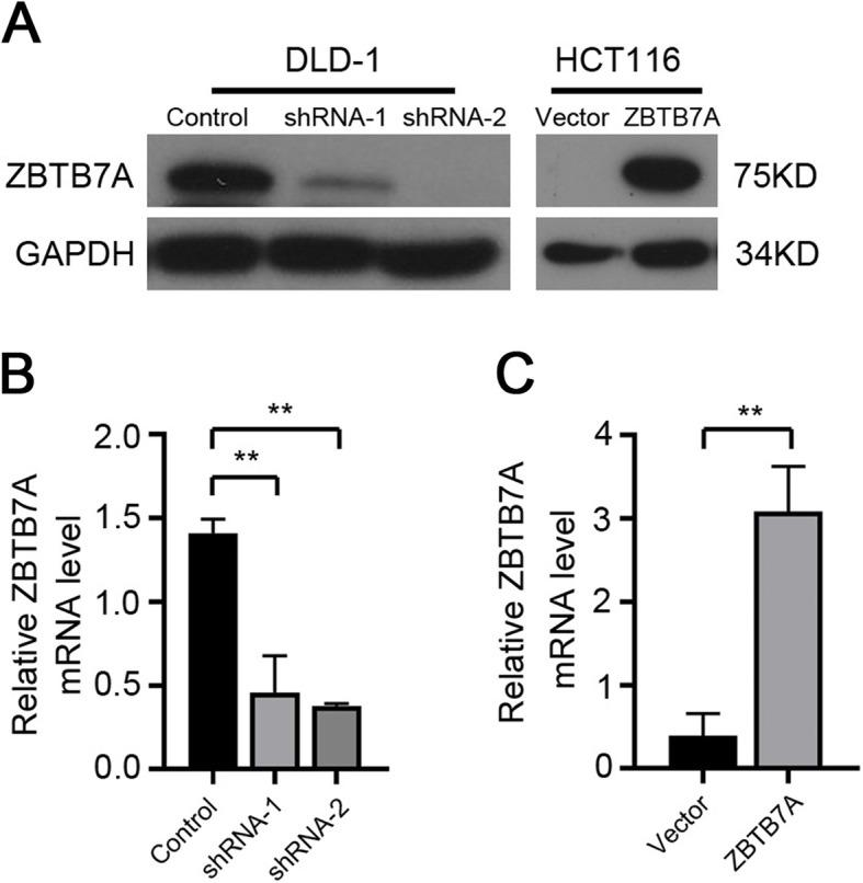 ZBTB7A promotes cell proliferation of CRC cells in vitro. a, b Cell growth capacity was evaluated by colony formation for about 2 weeks. Silencing ZBTB7A significantly inhibited the growth of DLD1 cells, while upregulation of ZBTB7A evidently promoted the growth of HCT116 cells. c, d Cell viability was analyzed using CCK8 assays in CRC cells. Cell proliferation of knock-down cells and overexpression cells were attenuated and enhanced, respectively