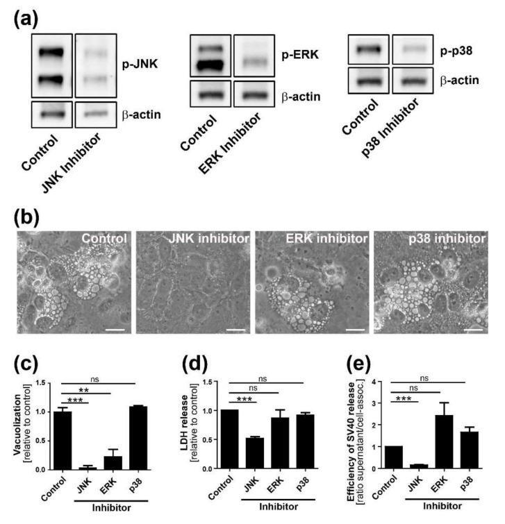 MAP kinase components are required for efficient vacuolization, cell lysis, and virus release. ( a ) Inhibitors SP600125, Selumetinib, and SB203580 inhibit SV40-induced phosphorylation of JNK, ERK, and p38, respectively. CV-1 cells were infected at an MOI of 10. Inhibitor treatment was started at 12 h.p.i., and immunoblotting was performed on extracts prepared 48 h.p.i; ( b ) Bright-field images of CV-1 cells 48 h.p.i. after infection with SV40: CV-1 cells were infected at an MOI of 10 and treated with inhibitors against JNK, ERK, and p38 or DMSO vehicle at 12 h.p.i.. Scale bar, 20 µm; ( c ) The number of vacuolated cells two days after infection was quantified and normalized to DMSO-treated control cells. *** p