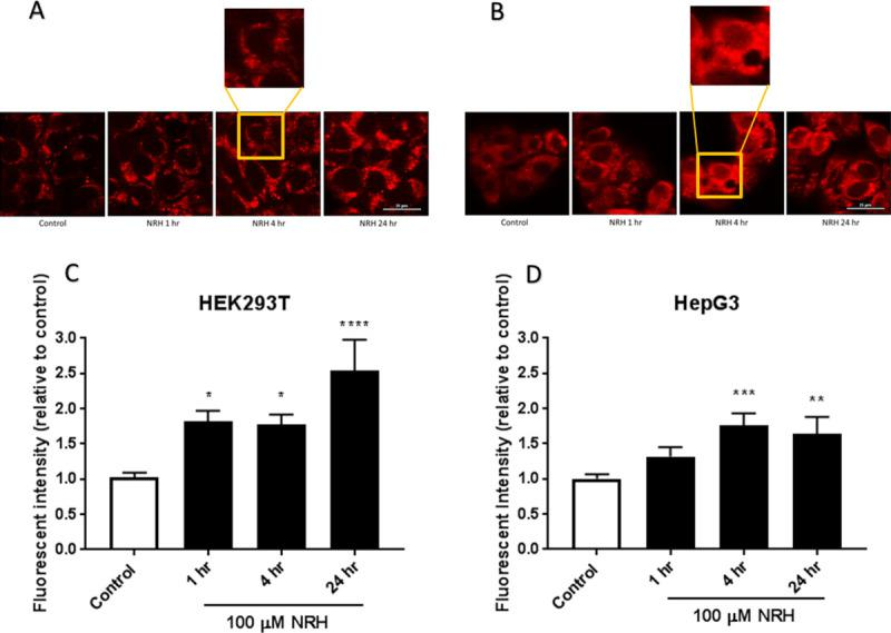 NRH exposure increased NADH/NADPH levels in HEK293T and HepG3. Autofluorescent images of endogenous NAD(P)H in untreated and 100 μM NRH exposed (A) HEK293T and (B) HepG3 cells. Quantification of fluorescent signal for untreated and 100 μM NRH treated (C) HEK293T, and (D) HepG3 cells. Results are expressed as the mean intensity of the fluorescent values relative to the control ± SEM calculated from three biological replicates. Statistically significance: * P