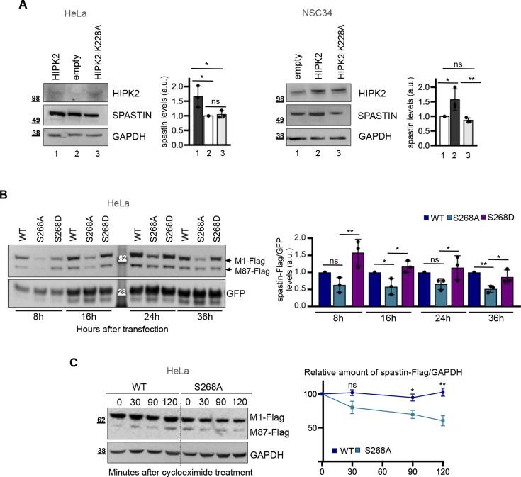 Kinase activity of HIPK2 regulates spastin protein levels. (A) Representative Western blot (WB) of HeLa (right panels) and NSC34 cells (left panels) transfected with vectors expressing HA-tagged HIPK2-WT, its derivative -K228A mutant or HA-alone (empty). Statistical differences, Anova test. (B) Representative WB of HeLa cells transfected with vectors expressing flag-myc spastin-WT or indicated spastin mutants in combination with peGFP vector at 10:1 molar ratio and lysed at indicated time post transfection. GFP expression was used as internal control for transfection efficiency. The intensity of spastin-Flag bands was normalized by the intensity of GFP and reported relative to spastin-WT for each time point. Statistical differences, ANOVA test. (C) HeLa cells were transfected with vectors expressing flag-myc–tagged spastin-S268A or spastin-WT, treated with 25 μg/ml cycloeximide 36 h posttransfection and analysed by WB at indicated times after treatment. Note that to minimize differences in spastin levels at the time 0, cells were transfected with different doses of the expressing vectors, that is, 1 μg of spastin-S268A–expressing vector and 0.5 μg of spastin-WT–expressing vectors. Representative WB is shown. The levels of spastin-Flag bands relative to those of GAPDH were measured at each time point and reported as mean ± SEM of four different independent experiments in the right panel. Statistical differences were calculated and reported for each time point, unpaired t test. Source data are available for this figure.