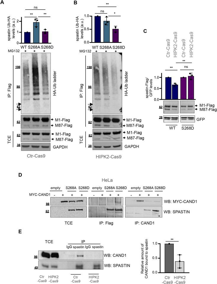 Phosphorylation in S268 prevents spastin polyubiquitination and degradation. (A, B) HeLa Ctr-Cas9 (A) and HIPK2-Cas9 (B) cells were transfected with vectors expressing indicated flag-myc–tagged spastin-WT or its derivative mutants in combination with the vector expressing HA-tagged Ub-WT and treated 24 h posttransfection with 20 μM MG132 for 8 h. Total cell extracts (TCEs) were analysed by Western blot (WB) and IP as in Fig 2F . Samples were processed in parallel and analysed on the same blot to make comparison between HIPK2 proficient and null cells. The arrows indicate the position of unmodified spastin isoforms. The intensity of spastin-Ub-HA ladder was normalized by the intensity of spastin-Flag bands in IP and reported as mean ± SD (n = 3). Statistical differences, ANOVA test. (C) HeLa Crt-Cas9 and HIPK2-Cas9 cells were transfected with vectors expressing indicated flag-myc–tagged spastin WT or its derivative S268D in combination with peGFP vector as in Fig 2G and analysed by WB 24 h post transfection. GFP expression was used as internal control for transfection efficiency. Representative WB is shown. The intensity of spastin-Flag bands was normalized by the intensity of GFP and reported relative to Ctr-Cas9 control cells. Statistical differences, Anova test. (D) Representative Co-IP showing that spastin-S268D preferentially binds CAND1. HeLa cells were co-transfected with the plasmid expressing MYC-CAND1 in combination with empty vector or vectors expressing spastin-S268A or spastin-S268D. Cells were collected 24 h posttransfection. TCE were analysed by WB or immunoprecipitated with anti-Flag or anti-CAND1 Abs and analysed as indicated. The asterisk indicates an aspecific band. TCE and IP samples were loaded on the same gel and processed on the same filter. Blots were vertically cropped to show appropriate expositions. Full blots are shown in the source data F4 file. (E) Co-IP showing that spastin interaction with CAND1 is stronger in HeLa Ctr-Cas9 cells compa
