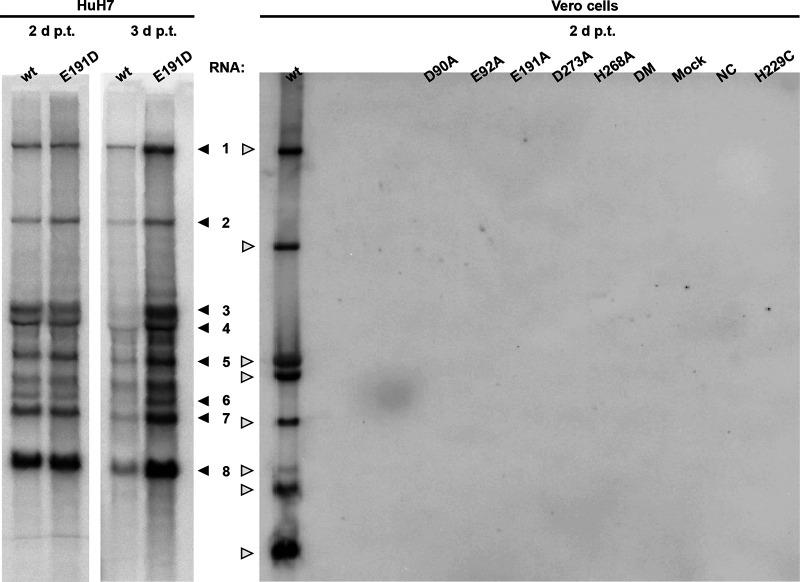 Impact of ExoN inactivation on intracellular MERS-CoV RNA synthesis. In-gel hybridization analysis of intracellular RNA isolated after 2 or 3 dpt of transfected BHK-21 cells, which were subsequently mixed with HuH7 or Vero cells, as indicated. Purified RNA was separated in an agarose gel and probed with a radiolabeled oligonucleotide probe recognizing the MERS-CoV genome and subgenomic mRNAs.