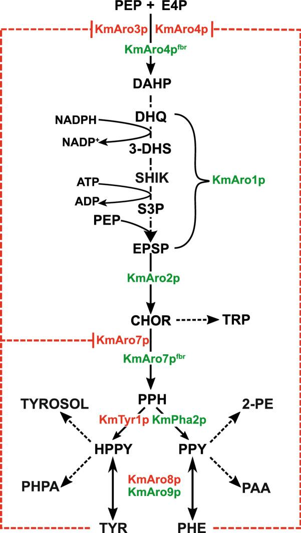 Shikimate and phenylalanine/tyrosine biosynthesis in Kluyveromyces marxianus . The enzymes are named according to their orthologues in S. cerevisiae . In our study, genes for enzymes coloured red have been deleted or otherwise inactivated and those coloured green are overexpressed, with feedback-resistant alleles represented by the superscript fbr. Red dashed lines indicate product inhibition on enzymes, while dashed arrows indicated multiple reactions between the metabolites indicated. Abbreviations: PEP: phosphoenolpyruvate, E4P: erythrose 4-phosphate, DAHP: 3-deoxy-D-arabinoheptulosonate-7-phosphate, DHQ: 3-dehydroquinate, 3-DHS: 3-dehydroshikimate, SHIK: shikimic acid, S3P: shikimate-3-phosphate EPSP: 5-enoylpyruvateshikimate-3-phosphate, CHOR: chorismate, PPH; prephentate, (H)PPY: (hydroxyl)phenylpyruvate, 2-PE: 2-phenylethanol; PAA: phenylacetic acid; TYROSOL: tyrosol/para-hydroxyphenylethanol; PHPA: para-hydroxphenylacetate; TRP: tryptophan; TYR: tyrosine, PHE: phenylalanine