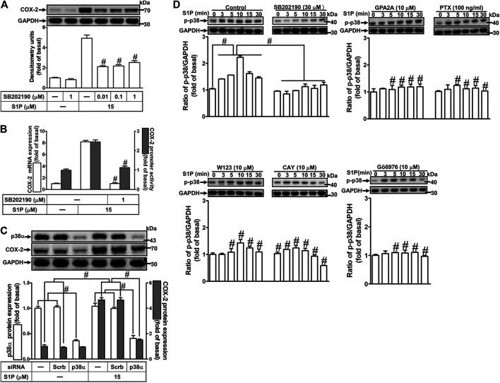 """S1P-induced COX-2 expression is mediated through p38 MAPK phosphorylation. (A) Cells pretreated with SB202190 for 1 h were followed by incubation with 15 μM S1P for 8 h. (B) Cells were transfected without or with COX-2 promoter-luciferase reporter gene, pretreated without or with SB202190 (30 μM) for 1 h, and then incubated with 15 μM S1P for 4 h (mRNA) or 1 h (promoter). The levels of COX-2 protein, mRNA expression, and promoter activity were individually examined by Western blot, real time-PCR, and promoter assay. (C) Cells transfected with p38α MAPK siRNA were incubated with S1P for 8 h. ( D ) Cells were incubated with S1P (15 μM) for the indicated time intervals in the absence or presence of SB202190 (30 μM), W123 (10 μM), CAY (10 μM), GPA2A (10 μM), or Gö6976 (10 μM) for 1 h and PTX (100 ng/ml) for 24 h. The cell lysates were collected and analyzed by Western blot. The fold of basal was defined as normalization of the data to the respective """"0,"""" and then compared the data of corresponding time points of control vs inhibitor with a statistic method, as described in the section of Methods . Data are expressed as mean ± SEM of three individual experiments (n = 3). # p"""