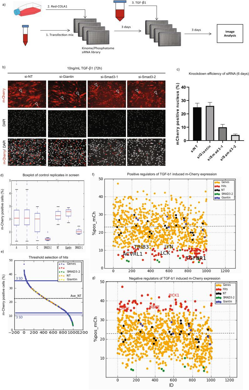RNAi screen with Red-COLA1 identifies genes regulating TGF-β1 signalling. (a) Workflow of RNAI screen. Transfection reagent (RNAiMAX) was diluted in serum free media prior to dispensing into 384-well plates pre-printed with siRNA targeting genes in the human kinome and phosphatome library. Red-COLA1 cells were trypsinized, resuspended in complete growth media (DMEM, 10% FBS) and then added to wells twenty minutes after siRNA were complexed with the transfection reagent. TGF-β1 were added to wells 3 days post transfection, at a final concentration of 1 ng/mL. Image acquisition was performed 6 days post transfection. (b) Control siRNAs used in the screen. 2 negative control siRNAs, non-targeting siRNA (siNT), Giantin (siGaintin) and 2 positive control siRNAs targeting Smad3 were included in control wells of the screen. Non-specific m-Cherry signals observed after siRNA transfection were denoted by white open arrows. A DAPI mask was applied to quantify nuclear-localized m-Cherry signal (bottom panel) and the percentage of cells positive for nuclear m-Cherry expression above applied threshold was determined. (c) Average percentage of m-Cherry positive nucleus were quantified and calculated using manufacturer image analysis software. Error bars represent SD from 4 sites performed in 4 replicate wells. (d) Box plot of controls (si-Smad3-1, si-Smad3-2, siNT, siGiantin) and samples in the screen. A: All wells. S: Sample wells. C: Controls. (e) Hits identification. Sample wells with percentage of nuclear m-Cherry positive cells at least three standard deviations away (3SD) from the average of siNT (orange) controls were identified as hits. Distribution of other control wells, Giantin and Smad 3–2 are highlighted in yellow and green respectively. (f) Positive regulators of TGF-β1-induced m-Cherry expression. Depletion of genes that down-regulate TGF-β1-induced m-Cherry positive cells are highlighted in red. Some genes previously implicated in the pathway are indicated (ACVRL1