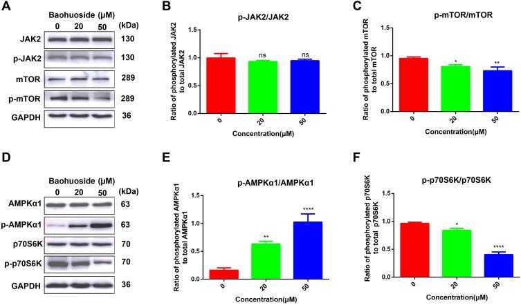Baohuoside I inhibits the activity of mTOR signaling. ( A and D ) Western blot analysis of protein expression level in U251 cells treated with 0, 20 and 50 μM Baohuoside I for 24 h. ( B ) Histogram representing the ratio of p-JAK2/JAK2. ( C ) Histogram representing the ratio of p-mTOR/mTOR. ( E ) Histogram representing the ratio of p-AMPKα1/AMPKα1. ( F ) Histogram representing the ratio of p-p70/p70. All experiments were repeated 3 times and data are presented as mean ± SD. * p